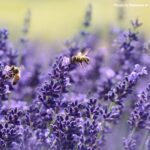 Close-up of two honey bees taking the nectar from flowers in a field of lavender.